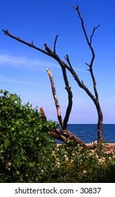 Bare Tree Overlooking Lake Michigan