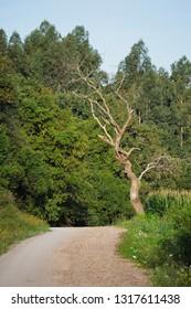 A bare tree in Ruiloba, Cantabria