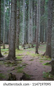 Bare tree trunks in dense pine forest, Zabljak, Montenegro, 2018