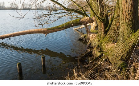 Bare tree in the water near the banks of a Dutch river. The tree has been felled by the gnawing of wild beavers