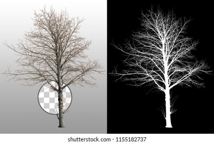 Bare tree without leaves in winter. Dead tree isolated on transparent background via an alpha channel. Very high quality mask without unwanted edge. High resolution for professional digital compositio