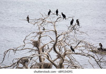 Bare trees with Cormorant birds in the Stockholm archipelago.