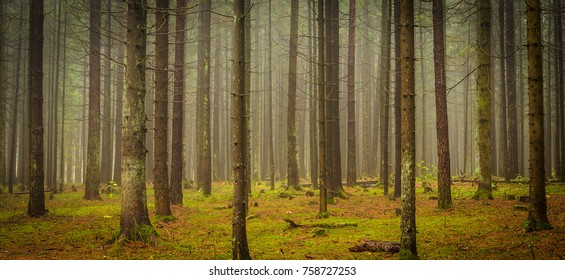 bare trees in the foggy forest