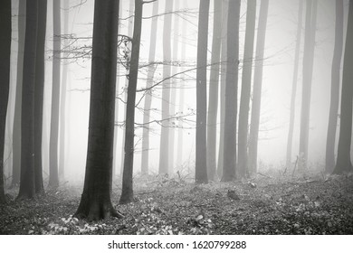 Bare trees with leftover leaves in winter forest with haze