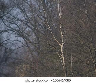 Bare trees in mist in morning sunlight.