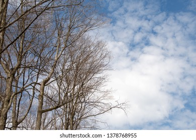 bare trees in spring woods with wispy cloud and sky background