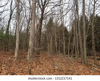 Bare trees in the winter, central Massachusetts