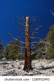 The bare trunk of a dead Great Basin Bristlecone Pine, probably struck by lightning, stands in a dramatic setting in the White Mountains of California. It may have stood for thousands of years.