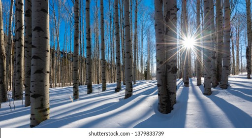 Bare white aspen trunks stand in stark contrast against the bright clear blue Colorado mountain winter sky. The white snow perfectly complements the birch like bare tree trunks as the sun peaks out.