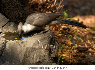 A Bare-faced Go-Away sits at a bird bath for a refreshing drink but never relaxes it's guard where it feels even the slightest vulnerability
