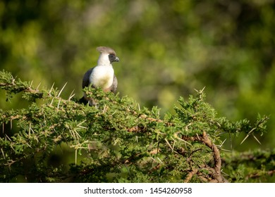 Bare-faced go-away-bird perched in thorny acacia tree