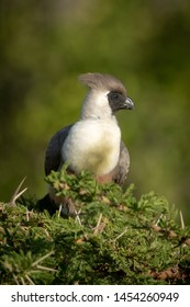 Bare-faced go-away-bird perches atop thorny acacia tree