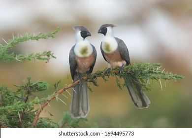 The bare-faced go-away-bird is a species of bird in the family Musophagidae which is native to the eastern Afrotropics. It is named for its distinctive and uniquely bare, black face.