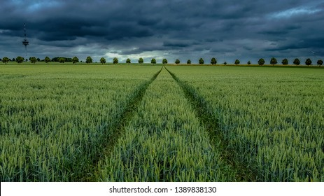 Barely field with tractor tracks going through on a very stormy sky background