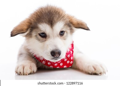 Barely a month old puppy, Alaska sled dog