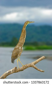 Bare-throated Tiger Heron in his habitat  standing still, pretending he is not there. Latin name- Tigrisoma mexicanum.