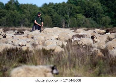 Bargerveen, Netherlands- May 31, 2020: Shepherd with sheep in the Bargerveen, Netherlands