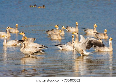 Bar-headed goose, Sariska Tiger Reserve, India. The bar-headed goose (Anser indicus) is a goose that breeds in Central Asia near mountain lakes and winters in South Asia