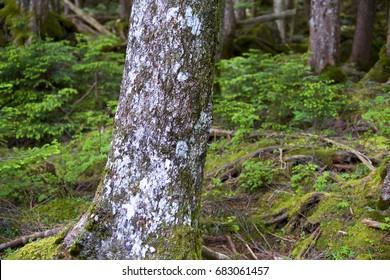 Bark of abies veitchii