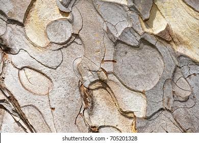 bark of austrian pine