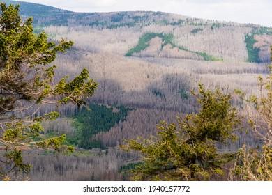 Borkenkäfer-Totenbäume