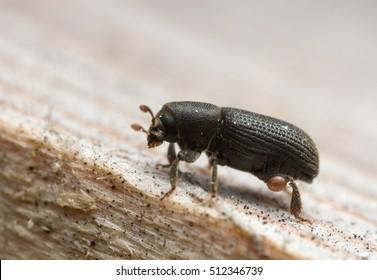 Bark beetle, Hylastes beetle on wood