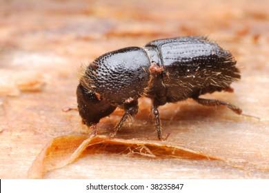 Bark beetle Ips typographus
