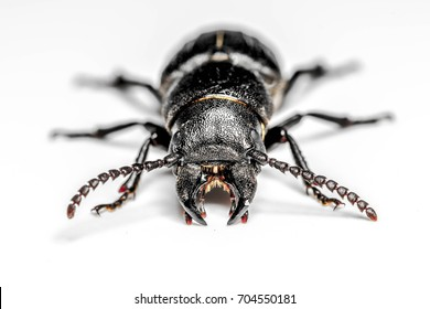 Bark beetle on isolated white background