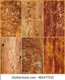 Bark beetles galleries (Carphoborus perrisi, Hypoborus ficus, Orthotomicus erosus, Phlocosinus armatus, Scolytus amygdali, Tomicus destruens)