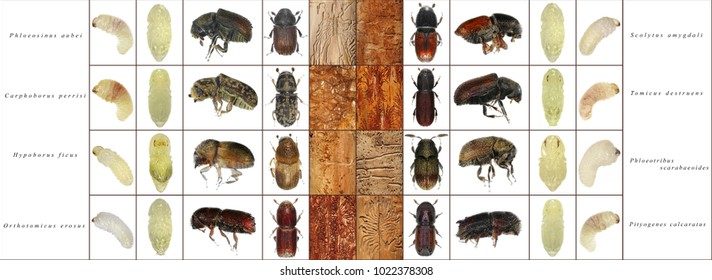Bark beetles: larva, pupa, imago and bark galleries isolated on a white background