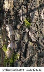 The bark of a birch tree in close-up - Shutterstock ID 1929406163