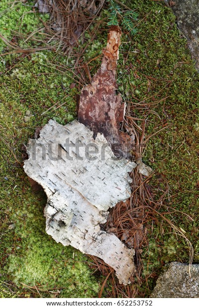 Bark Birch Trees Laying Pine Needles Stock Photo Edit Now 652253752