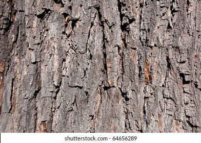 Bark of a black walnut (Juglans nigra) as background