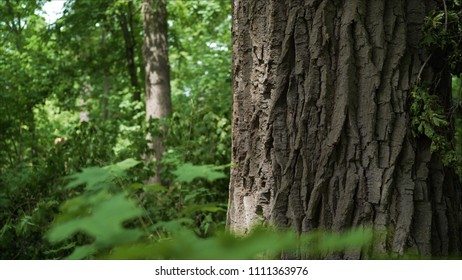 The bark of a century old oak. Thick layer of bark on oak. The bark from the oak macro.  Oak with a large tree trunk.