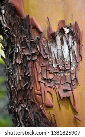 The bark is crumbling off of this madrone tree