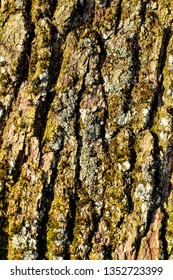 Bark of an English oak, Common oak, Quercus robur, Quercus pendunculata, with lichens and mosses