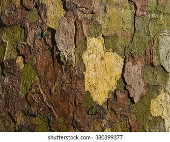bark of a field elm tree