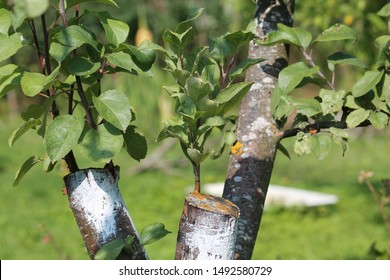 Bark graft apple tree in garden