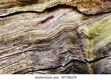 Bark has peeled away from a small section of the trunk of old oak tree showing the cracks and holes in shades of brown and green.