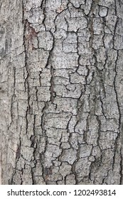 The bark of a large, rugged, perennial tree trunk is characterized by its natural species. This is due to the seasonal weather growth.