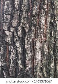 Bark of Mimusops elengi L. or Bullet wood tree, close up view.