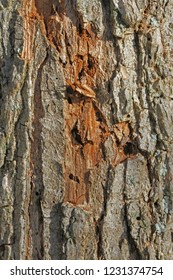 bark on an elm tree Latin ulmus or frondibus ulmi showing the start of Dutch elm disease also called grafiosi del olmo with the beetle having bored into the trunk of the dying tree in Italy