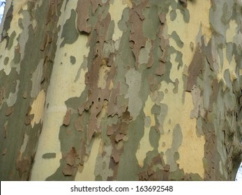 Bark of Platanus  acerifolia, London plane, London planetree, or hybrid plane, is a tree in the genus Platanus.