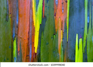 Bark of a Rainbow Eucalyptus (Eucalyptus deglupta) tree in Kauai, Hawaii, USA.