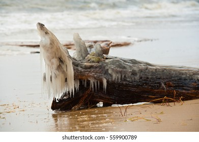Bark with roots thrown by the sea during winter storm, covered with ice. One of the roots resemble fish.