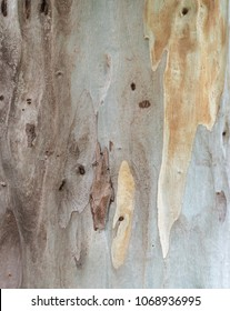 Bark texture background, Eucalyptus tree