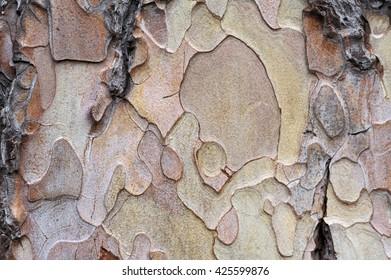 Bark texture - Black Pine