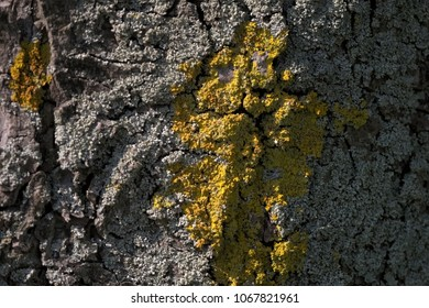 Bark of a tree covered with yellow lichen plants