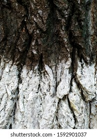 Bark of a tree with white paint. Tekstura. Close-up. - Shutterstock ID 1592901037