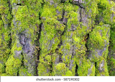 The bark of a Valley Oak, Quercus lobata, covered with green moss - texture or background